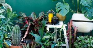 Easy with the rubber plant